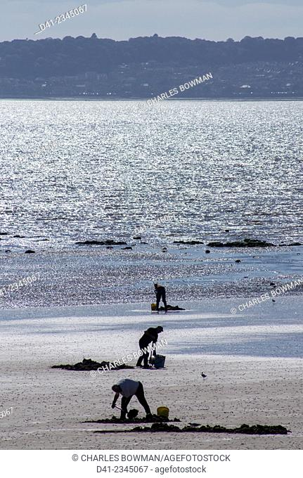europe, UK, Wales, Swansea beach cocklers