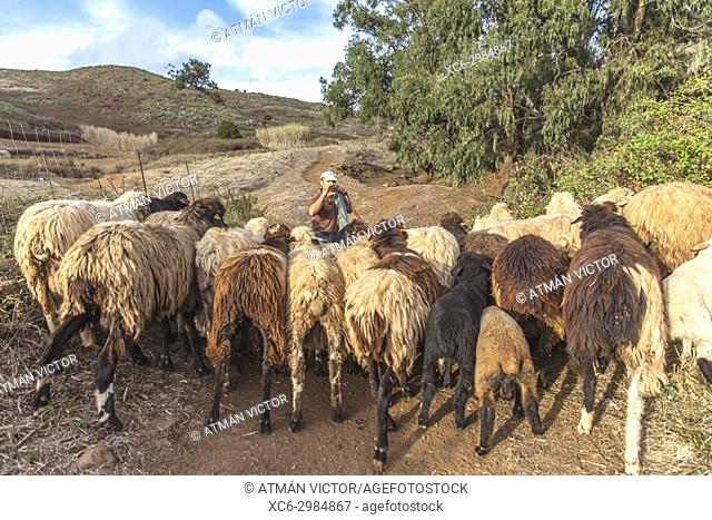 Shepherd and sheep herd grazing in the open air. San Cristóbal de La Laguna, Tenerife, Canary Islands, Spain