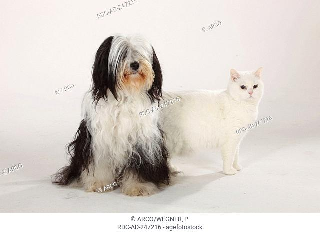 British Shorthair Cat tomcat white blue-eyed Tibetan Terrier