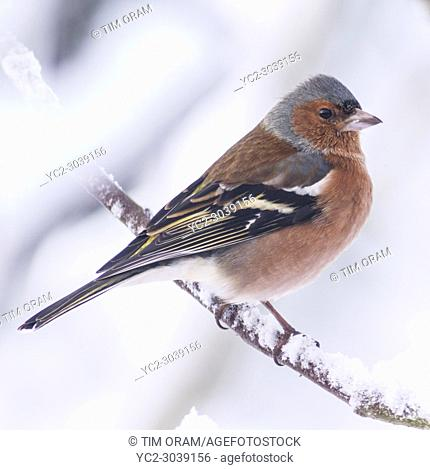 A Male Chaffinch (Fringilla coelebs) feeding in freezing conditions in a Norfolk garden. Uk