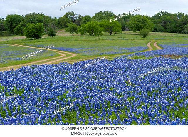 Dirt roads cutting through a field of bluebonnet wildflowers at the Muleshoe recreation area in Texas in the spring
