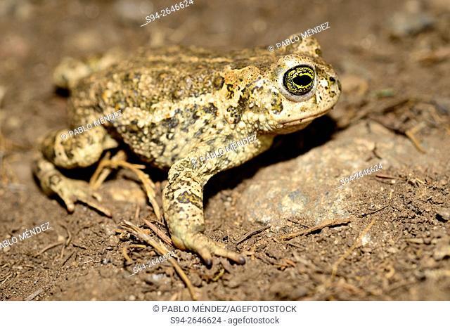 Natterjack toad (Bufo calamita) in Peñalara national park, Madrid, Spain