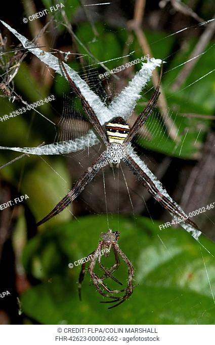 Multicoloured St. Andrew's Cross Spider (Argiope versicolor) adult female, on web with stabilimentum and moulted exoskeleton, Klunkung, Bali