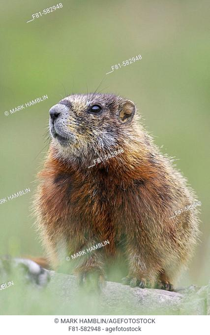 Yellow bellied Marmot (Marmota flaviventris) portrait of youngster. Yellowstone National Park, Wyoming, USA. June 2005
