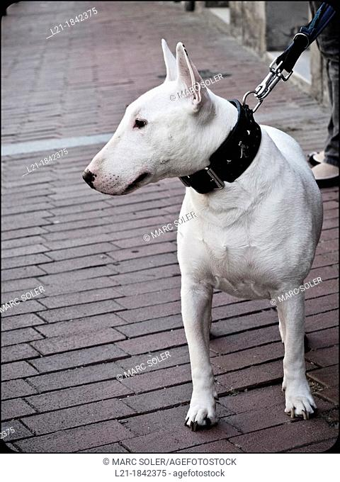 Bull terrier dog in a street