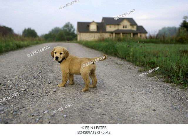 House and puppy on dirt track looking at camera