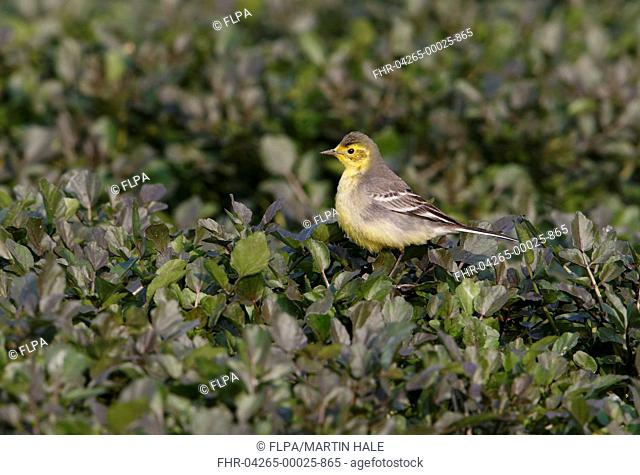 Citrine Wagtail (Motacilla citreola) immature female, first winter plumage, perched on vegetation, Hong Kong, China, January