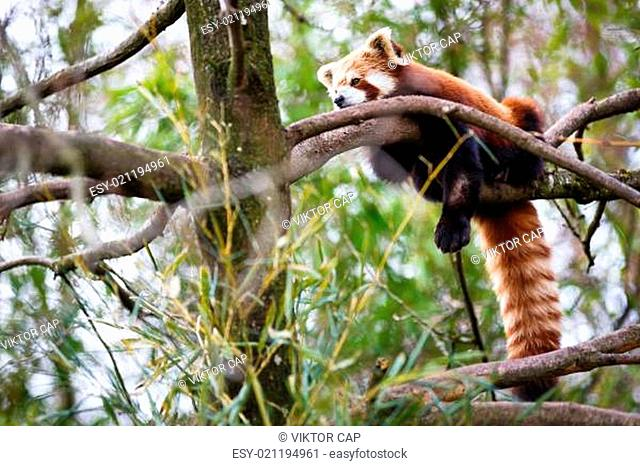 Red panda (Ailurus fulgens, lit. shining cat)