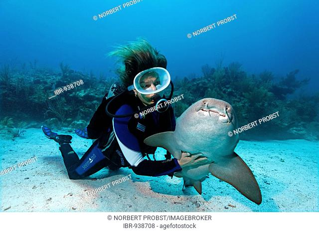 Scuba diver caressing the underside of a Nurse Shark (Ginglymostoma cirratum) in way that causes the shark to fall into a state of apathy, barrier reef