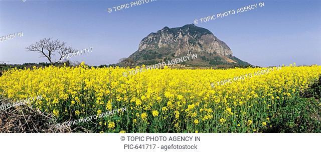 Rape Flowers Field,Mt.Sanbangsan,Jeju Island,Korea
