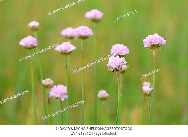Sea thrift (Armeria maritima subsp. elongata) blossoms