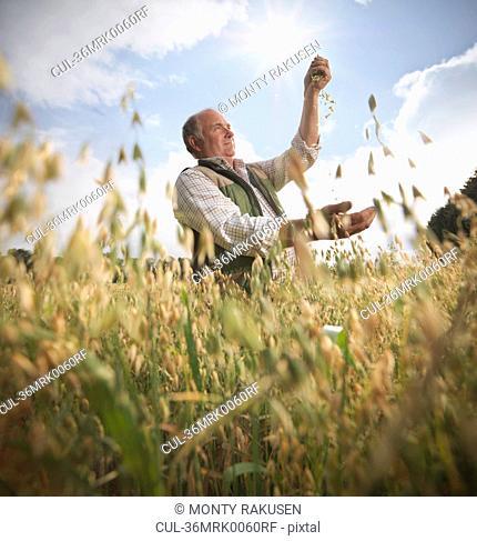 Farmer examining oat stalks in field