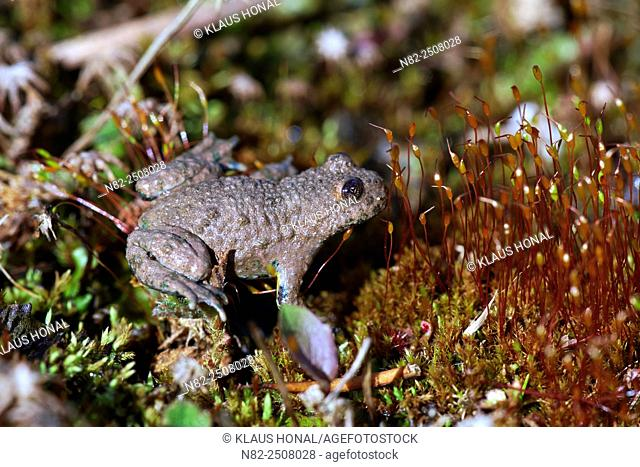 Yellow-bellied toad or Yellowbelly toad Bombina variegata, eye with heart shaped pupil - Bavaria/Germany