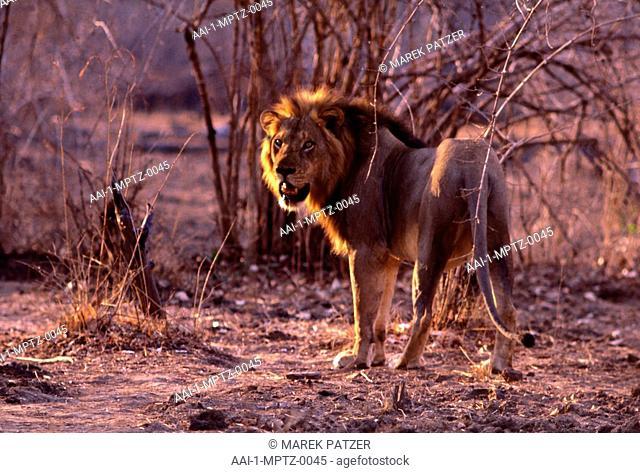 Lion, Kruger National Park, Mpumalanga, South Africa