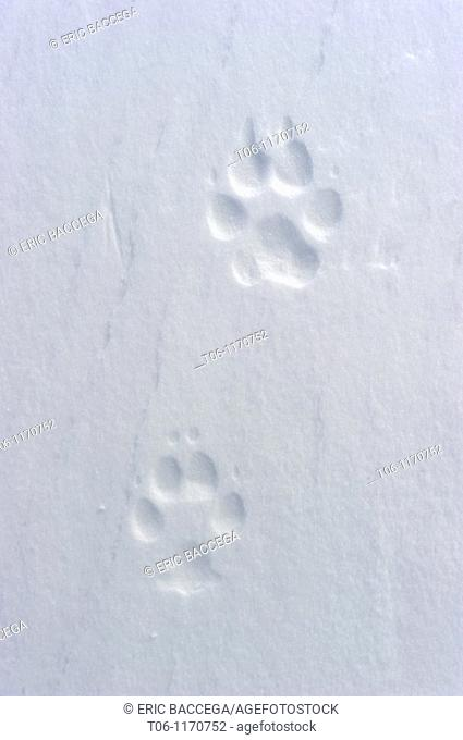 Footprint of artic wolf Canis lupus arctos Banks Island, North West Territories, Canada