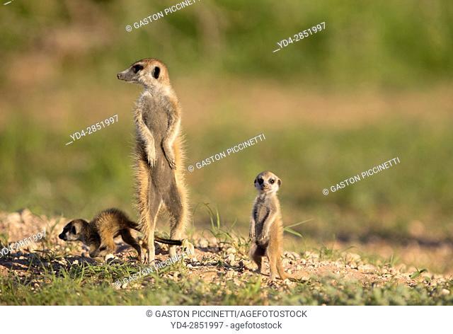 Suricates (Suricata suricatta), Kgalagadi Transfrontier Park, Kalahari desert, South Africa/Botswana