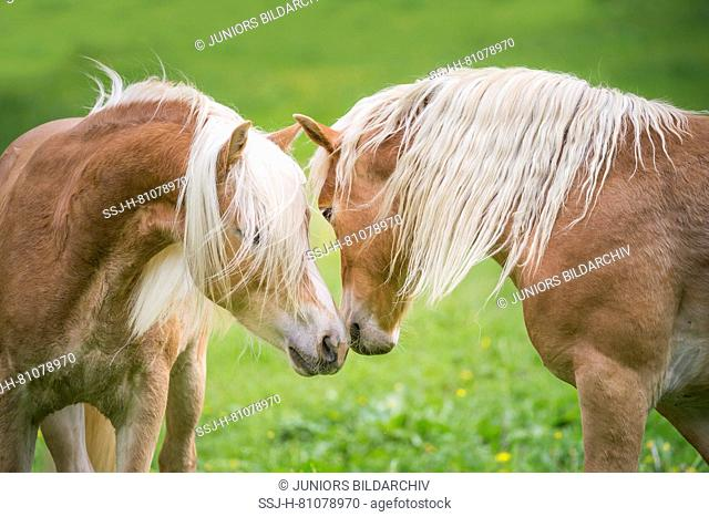 Haflinger Horse. Two juvenile stallions on a pasture, sniffing at each other. South Tyrol, Italy
