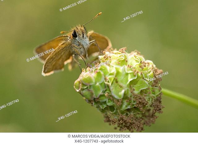 Lulworth Skipper Thymelicus acteon