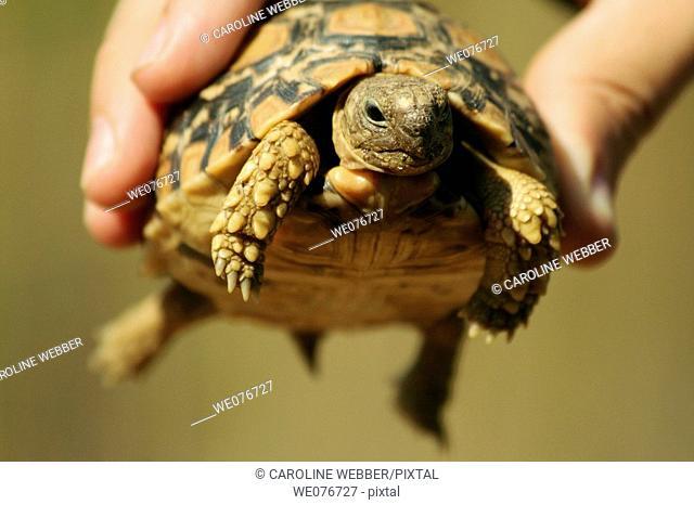 Leopard Tortoise in Zimbabwe