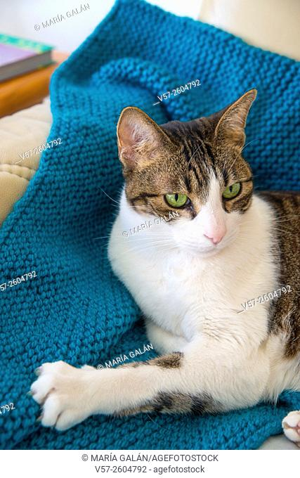 Tabby and white cat lying on an armchair at home
