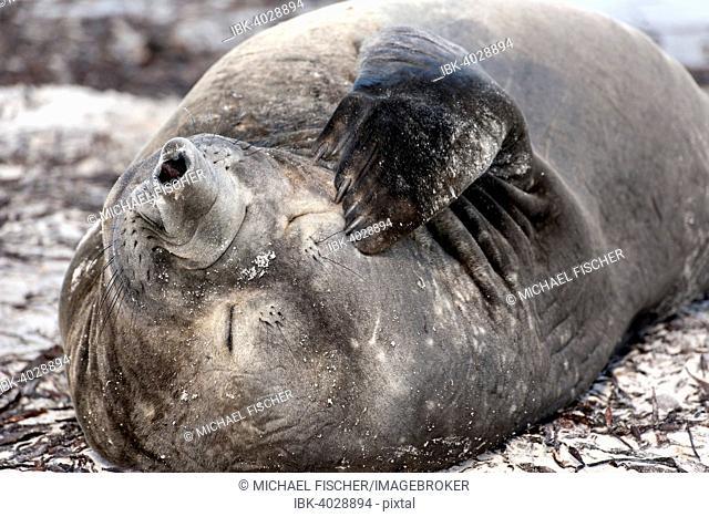 Southern elephant seal (Mirounga leonina), Carcass Island, Falkland Islands