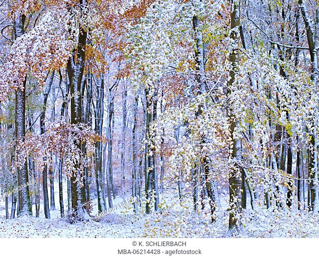 Germany, Mecklenburg-Western Pomerania, Müritz National Park, a UNESCO World Heritage European beech forests, autumn Colorful beeches in snow, Forest Serrahner