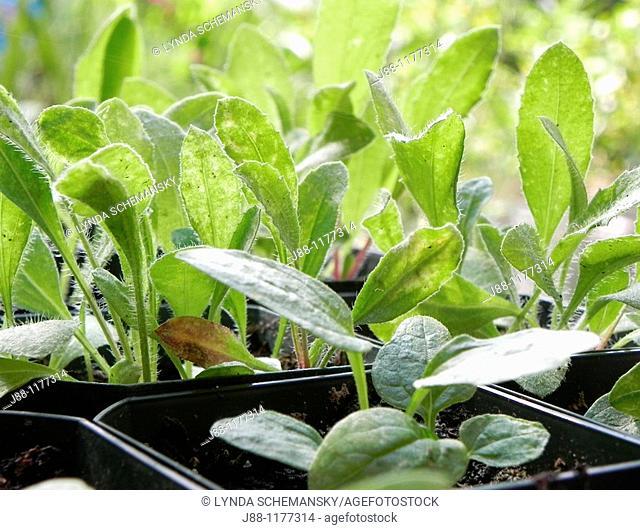 Perennial echinacea and gaillardia seedlings in nursery pots