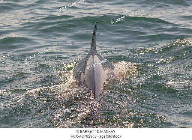 Common Minke Whale or Northern Minke Whale, (Balaenoptera acutorostrata), Bay of Fundy, New Brunswick, Canada