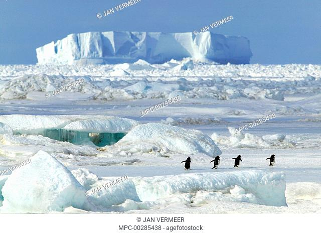Adelie Penguin (Pygoscelis adeliae) group walking, Cape Hallett, Antarctica