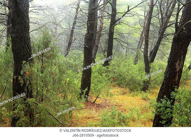 Pine forest after rain in Titaguas. Los Serranos region. Valencia