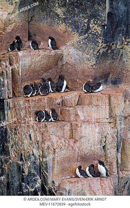 Bruennichs Guillemot / Thick-billed Murre at breeding colony