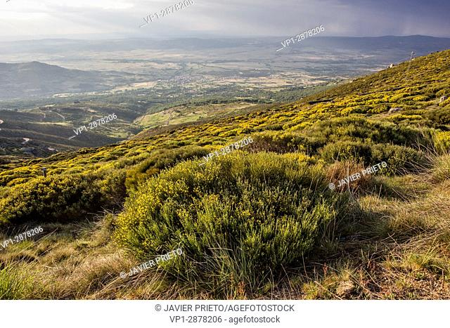 Piornos flowering. The Valle del Corneja and Piedrahita from the ascent to the port of Peñanegra (1,909 m. ). Avila. Castilla y León. Spain