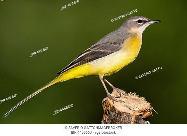 Grey Wagtail (Motacilla cinerea), first winter plumage, standing on a post, Campania, Italy