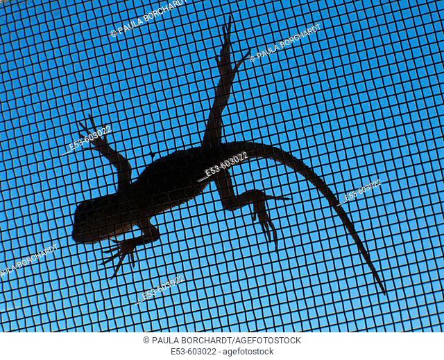 Lizard on window screen, Tucson, Arizona, USA