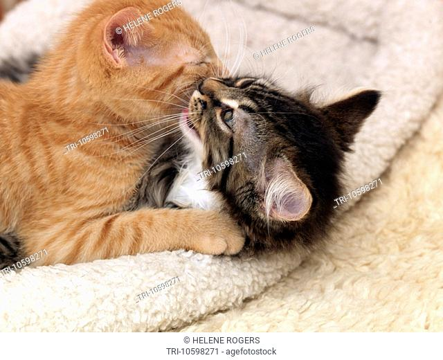 Ginger Kitten Cleaning Tabby Kitten 8 Weeks old