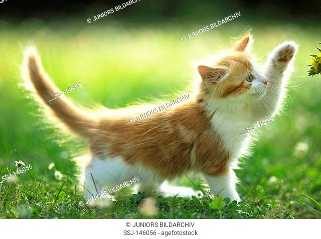 Maine Coon kitten on meadow restrictions: Tierratgeber-Bücher / animal guidebooks