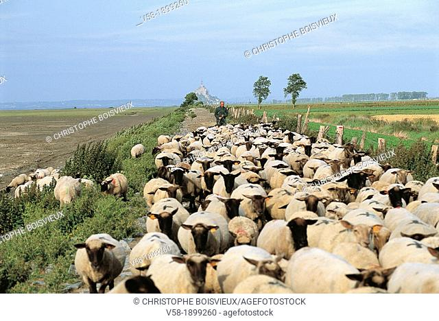 France, Brittany, Ille et Vilaine, Baie du Mont St Michel, Salty meadow sheeps Moutons de pres sales