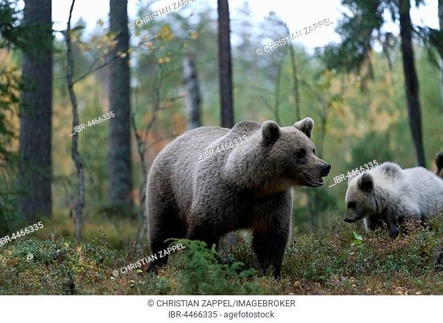Brown Bear (Ursus arctos), mother with juvenile in forest, Kuhmo, Kainuu, North Karelia, Finland