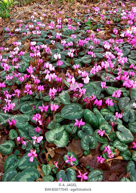 eastern cyclamen (Cyclamen coum), gruop of blooming plants