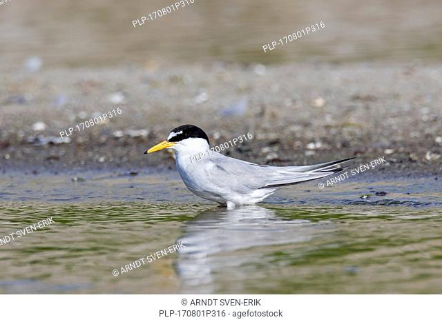 Little tern (Sternula albifrons / Sterna albifrons) in summer wading in shallow water