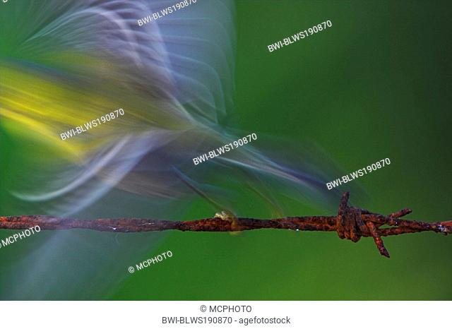 pine warbler Dendroica pinus, taking off, USA, Florida