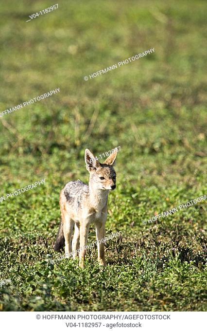 A black-backed jackal (Canis mesomelas) in the Serengeti National Park in Tanzania, Africa