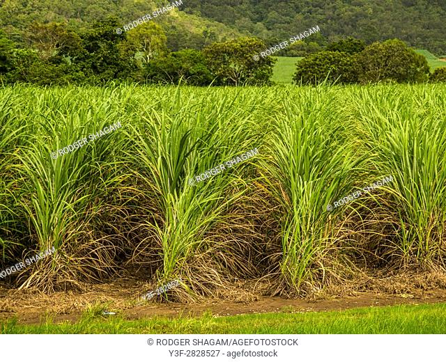 Sugarcane, or sugar cane, are several species of tall perennial true grasses of the genus Saccharum, native to the warm temperate to tropical regions of South...