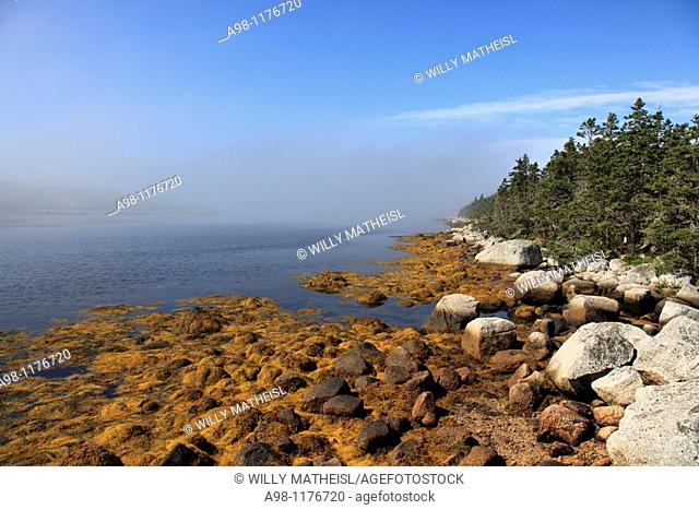 plants on rocky shore at lowest tide at the Atlantic coast in the morning mist at Nova Scotia, Canada, North America