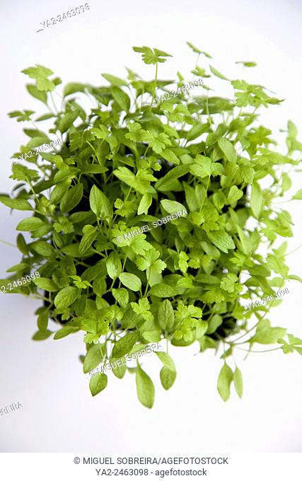 Growing Parsley from Seed - Young Developing Parsley Plant in Pot