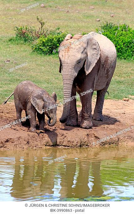 African Elephants (Loxodonta africana), adult female with young by the water, drinking, Addo Elephant National Park, Eastern Cape, South Africa