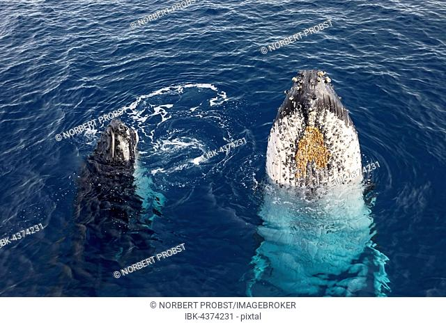 Humpback whale (Megaptera novaeangliae) with pup, species-specific Spy-hopping, Queensland, Pacific, Australia