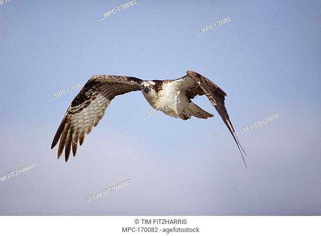OSPREY, (Pandion haliaetus) ADULT FLYING, BAJA CALIFORNIA, MEXICO