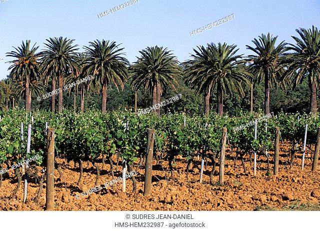 France, Var, near La Londe des Maures, Wineyard, AOC guarantee of quality Cote de Provence and palm trees
