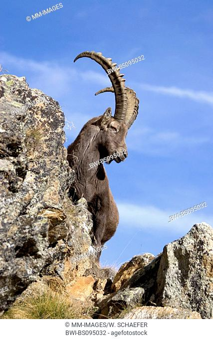 alpine ibex (Capra ibex, Capra ibex ibex), male between rocks in front of blue sky, Italy, Gran Paradiso National Park